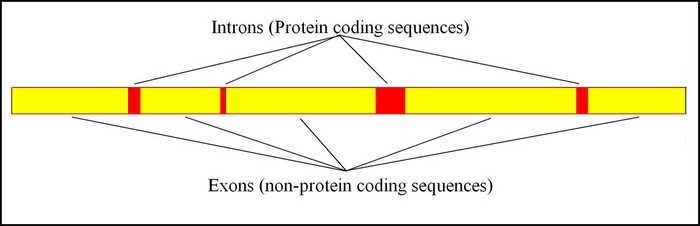 A typical gene is made up of two types of nucleotides. The yellow area (called exons) contain protein coding nucleotides that code for the proteins that create cells. However, genes are also interspersed with noncoding nucleotides, that I suggest, code for emotions.